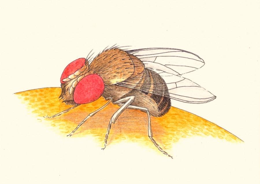 Fruitige fruitvliegjes dichterlijke natuur for Fruitvliegjes in keuken
