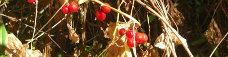 Klimmende bessen (1) bessen aan dode stengels van de heggenrank