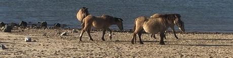 Ooijpolder (1) Konikpaarden