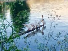 American Beauty (3) White Pelicans
