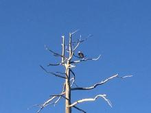 American Beauty (2)The Bald Eagle