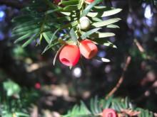Midwinterbessen (1) bessen van de Taxus