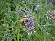 Lavendel voor thuisblijvers (3) met akkerhommel