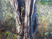 Wayaká-trail 2 (2) stam van een Brasiel, de verfhoutboom