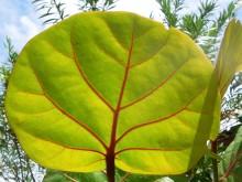 Zeedruif (1) volwassen blad