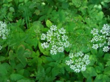 Duizendblad, of minder (2) bloeiend zevenblad