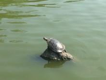 Morningside Turtles (1) een zonnende roodwangschildpad