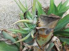 Tropische nood (1) oude bloeistam met jonge agave-klonen