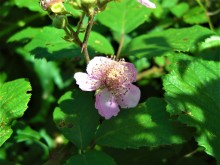 Bramentijd (2) roze bloeiende braam