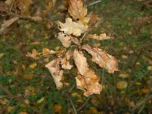 Herboren worden (1) stervend blad van de zomereik