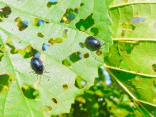 Haantje de glimste (1) elzenhaantjes op een elzenblad
