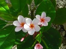 Tempelboom (1) de bloemen van de frangipani