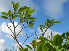 Tempelboom (2) bebladerde en kale takken van de frangipani