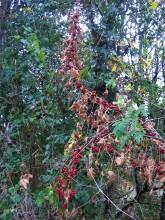 Klimmende bessen (2) een hoog in de boom geklommen heggenrank