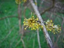 Bloeiend hout (3) Gele kornoelje, einde bloei