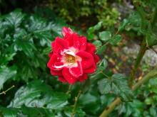 Tis weer voorbij... (1) een late roos