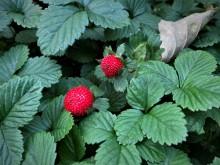 Schijnaardbei (1) de opvallende vruchten